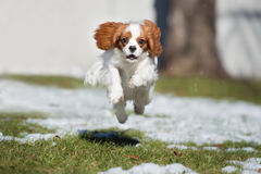 Cavalier king charles spaniel dog running outdoors in winter Stock Photos