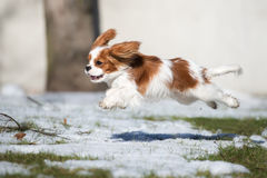 Cavalier king charles spaniel dog running outdoors in winter Stock Image