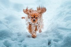 Cavalier King Charles Spaniel dog runnung in winter stock images