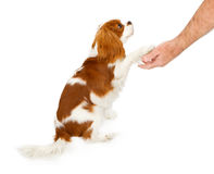 Cavalier King Charles Spaniel Dog Shaking Hands. Cavalier King Charles Spaniel dog against a white backdrop shaking the hand of a person Stock Photo