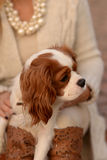 Cavalier King Charles Spaniel dog is sitting on a woman's lap and looking. Beautiful dog Cavalier King Charles Spaniel, white with red-brown spots on the fur, is royalty free stock photo
