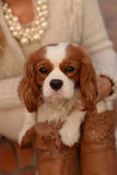 Cavalier King Charles Spaniel dog is sitting on a woman's lap and looking at the camera. Beautiful dog Cavalier King Charles Spaniel, white with red-brown spots stock photos