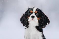 Cavalier King Charles Spaniel dog on a winter walk