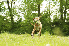 Cavalier king charles spaniel dogdancing Stock Photography
