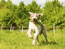 Cavalier king charles spaniel dogdancing.  Royalty Free Stock Photos