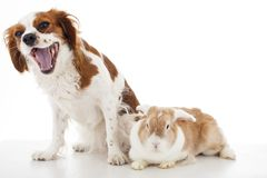 Cavalier king charles spaniel with easter bunny lop rabbit. Dog and rabbit together. Animal friends. Cute illustration. Photo for any concept. Cute royalty free stock photo