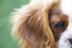 Cavalier king charles spaniel face zoom. King Charles Charles dog, close-up face photo stock photography