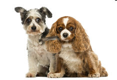 Cavalier King Charles Spaniel with a feather in its mouth and Cr Stock Photography
