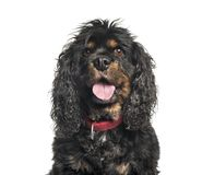 Cavalier King Charles Spaniel in front of white background. Isolated on white stock images