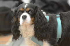 Cavalier King Charles Spaniel in harness Stock Photo