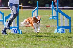 Cavalier king charles spaniel with his handler overcome the obstacle. In dog agility sport competition royalty free stock photography