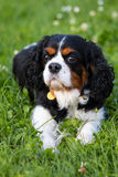Cavalier King Charles spaniel. Laying on green grass in a park stock photography