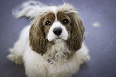 Cavalier King Charles Spaniel looking into camera with soulful big eyes Royalty Free Stock Images