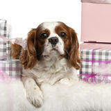 Cavalier King Charles Spaniel, lying Stock Photos