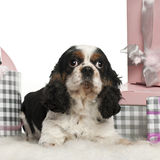 Cavalier King Charles Spaniel, lying Royalty Free Stock Photography
