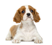 Cavalier King Charles Spaniel lying down Stock Photo