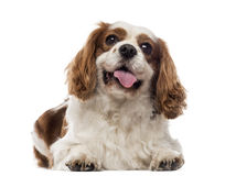Cavalier King Charles Spaniel lying and panting Royalty Free Stock Image