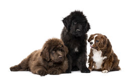 Cavalier King Charles Spaniel, Newfoundland, Newfoundland Stock Photo