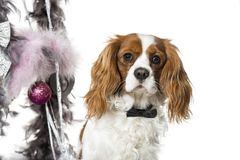 Cavalier King Charles Spaniel next to Christmas decoration again Stock Images