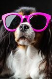 Dog with pink sunglasses. Cavalier King Charles Spaniel in pink sunglasses on black background in studio Royalty Free Stock Photo