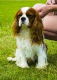 Cavalier King Charles Spaniel. Portrait of cavalier King Charles stock photo