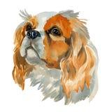 Cavalier King Charles Spaniel portrait. Cavalier king charles spaniel - hand painted, isolated on white background watercolor dog portrait Royalty Free Stock Photos