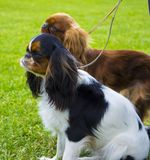 Cavalier King Charles Spaniel. Portrait of cavalier King Charles royalty free stock photography