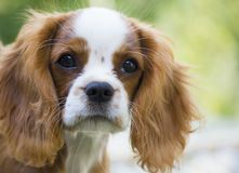 Cavalier King Charles Spaniel portrait close-up outdoor on green background. Beautiful brown white dog portrait King Charles Charles dog stock photo