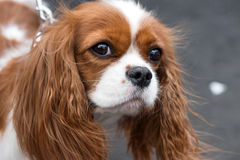Cavalier King Charles Spaniel portrait outdoor on gray background Royalty Free Stock Photography