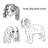 Spaniel dog hand drawn sketch isolated on white background. Cavalier King Charles spaniel portrait set. Purebred royal canine for your design stock illustration