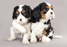Cavalier King Charles spaniel puppies Royalty Free Stock Photo
