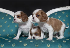 Cavalier King Charles Spaniel puppies. Sitting on armchair Royalty Free Stock Photo