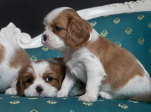 Cavalier King Charles Spaniel puppies. Sitting on armchair Royalty Free Stock Photography