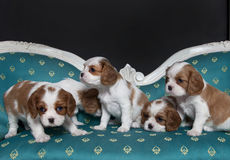 Cavalier King Charles Spaniel puppies. Sitting on sofa Stock Image