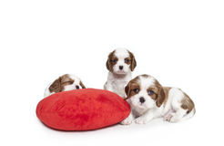 Cavalier King Charles Spaniel puppies. On a red plush heart pillow Stock Photos