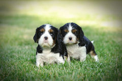 Cavalier king charles spaniel puppies Royalty Free Stock Photos