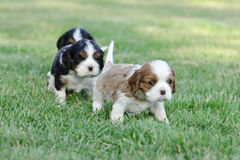 Cavalier king charles spaniel puppies Royalty Free Stock Image