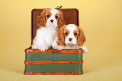 Cavalier King Charles Spaniel puppies sitting inside green suitcase luggage Royalty Free Stock Photography
