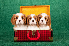 Cavalier King Charles Spaniel puppies sitting inside red tartan plaid suitcase luggage Stock Photo