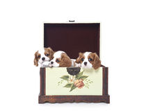 Cavalier king Charles Spaniel puppies. In a wooden box Stock Images