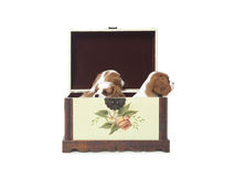Cavalier king Charles Spaniel puppies. In a wooden box Royalty Free Stock Photo