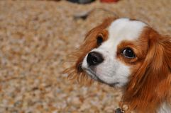 Cavalier King Charles Spaniel Puppy. Dog Looking up in a kind way as to express contentment and peace stock image