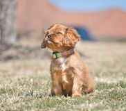 Cavalier King Charles Spaniel Puppy. Adorable Cavalier King Charles Spaniel puppy with ruby coloration squinting up into the sun Stock Image