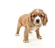 Cavalier King Charles Spaniel Puppy Stock Photography