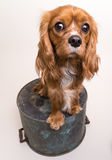 Cavalier King Charles Spaniel Puppy Royalty Free Stock Images