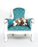 Cavalier King Charles Spaniel puppy. Sitting on armchair Stock Photos