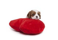 Cavalier King Charles Spaniel puppy. On a red plush heart pillow Royalty Free Stock Photo