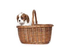 Cavalier king Charles Spaniel puppy. In a basket Royalty Free Stock Image