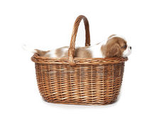 Cavalier king Charles Spaniel puppy. In a basket Royalty Free Stock Photos