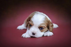 Cavalier king charles spaniel puppy Royalty Free Stock Photography